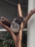 2015 koala